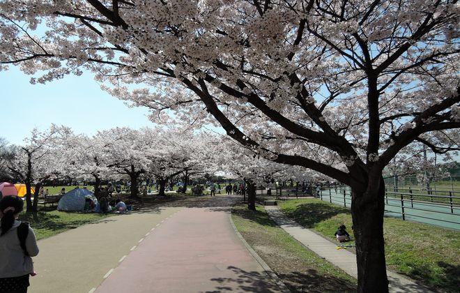 満開の桜並木でウォーキング