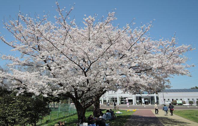 ウォーキングコースの桜が満開