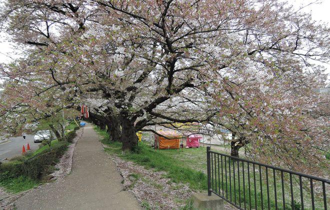 桜が散り始めた土手の桜並木