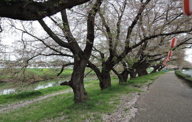 桜並木の下をウォーキング