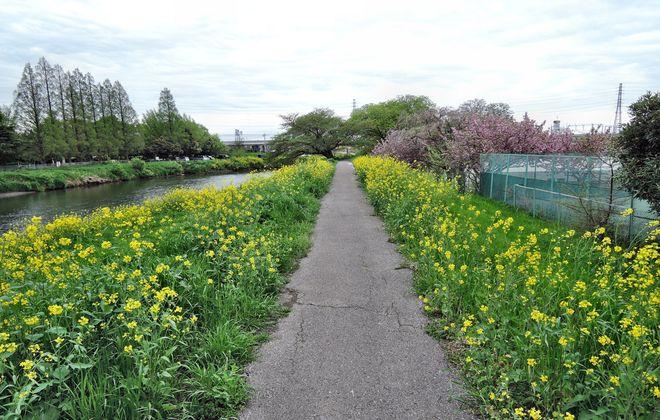 土手の遊歩道は菜の花ロード