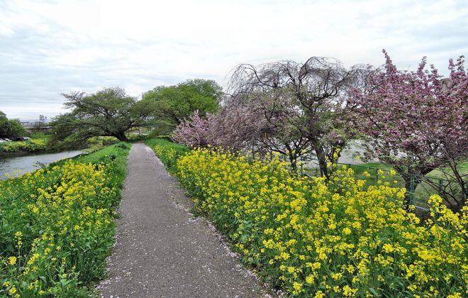 菜の花と里桜