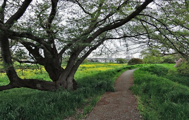 葉桜になった染井吉野