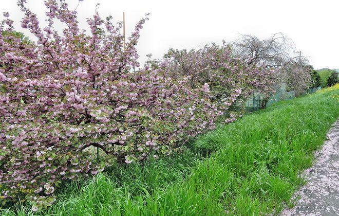 満開の里桜