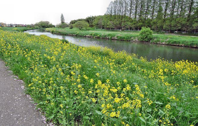 河川敷の菜の花の群生
