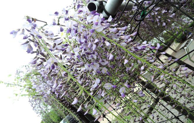 藤の花言葉