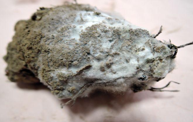 土付き菊芋に付着した酵母菌