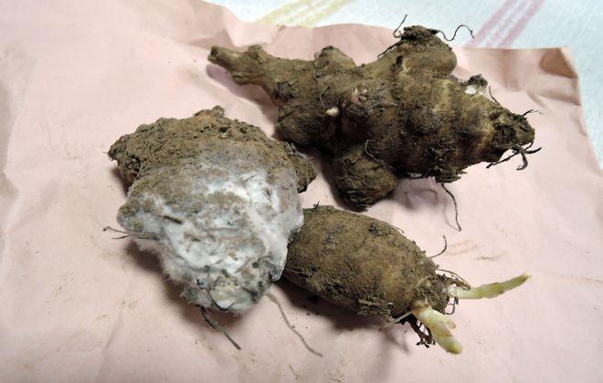 土付きの菊芋に付着した酵母菌