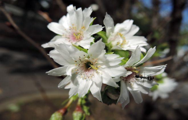 十月桜-2