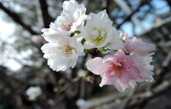 十月桜-3