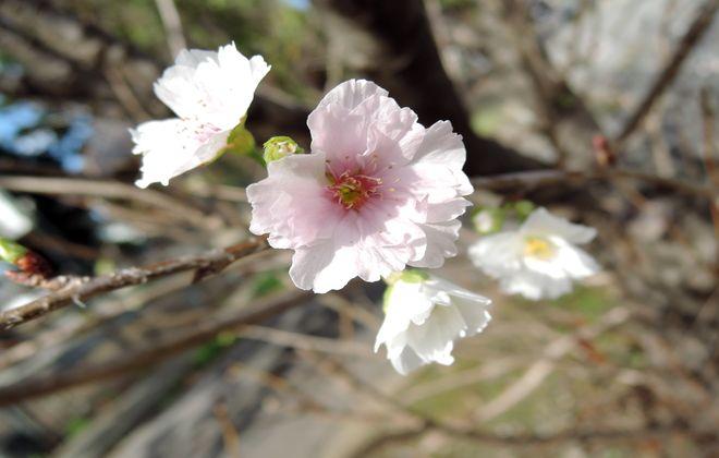 十月桜-4