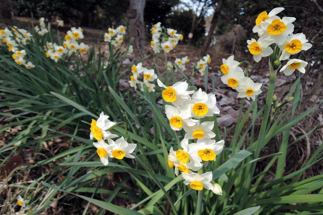 水仙の花-1