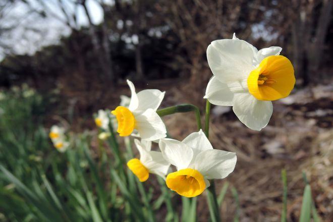水仙の花-2