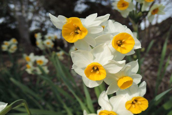 水仙の花-3