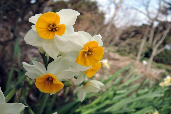 水仙の花-4