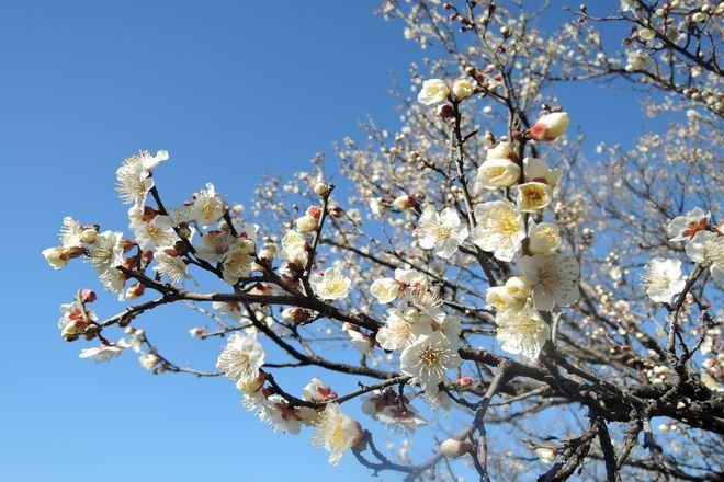 白い梅の花|南高梅