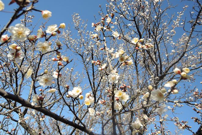 白い梅の花(1)
