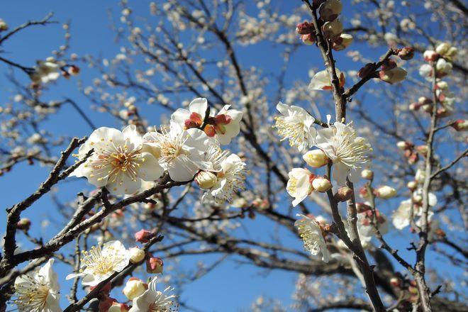 白い梅の花(2)