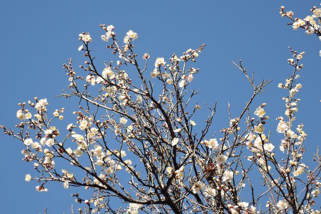 白い梅の花(3)
