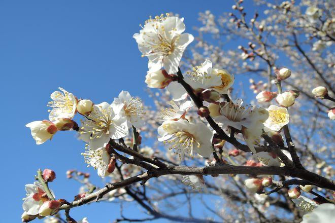 白い梅の花(4)