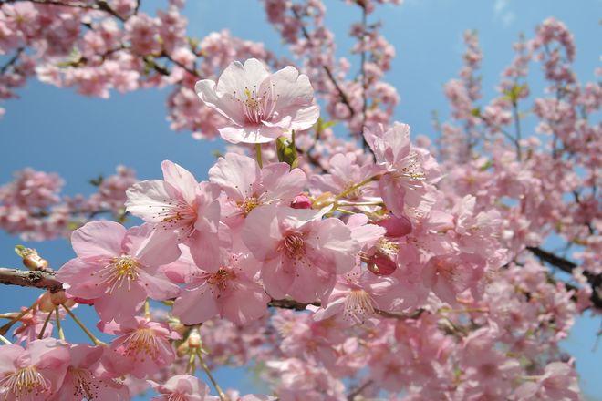 満開の河津桜(越谷市・県民健康福祉村)