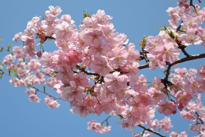 満開の河津桜-1