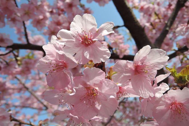 満開の河津桜-3