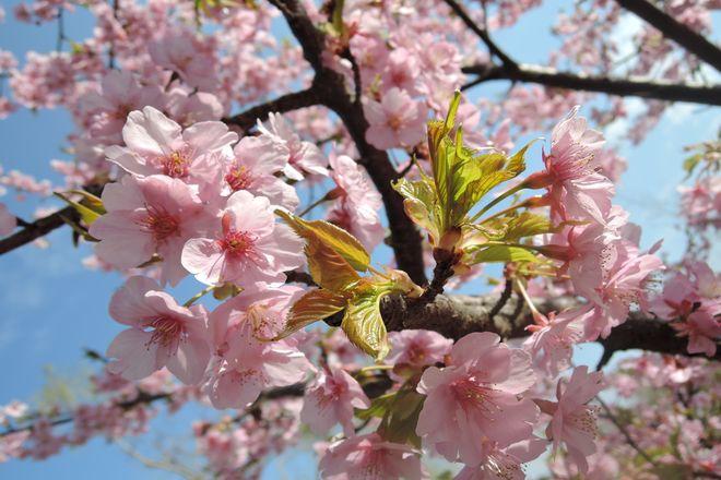 満開の河津桜-4