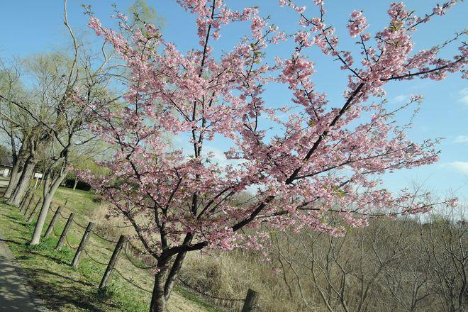 満開の河津桜-5
