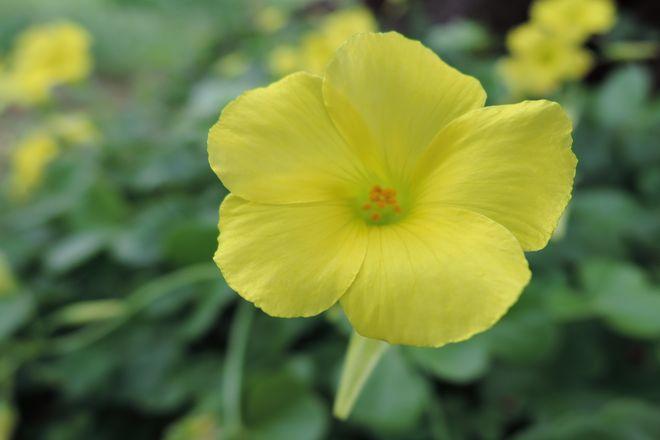 オオキバナカタバミの花-1