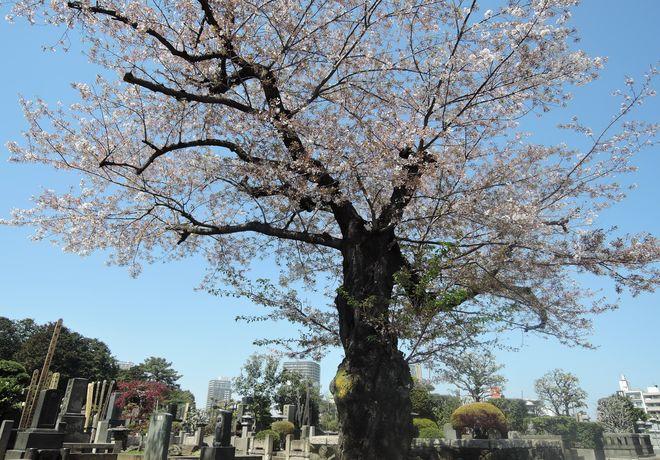 寛永寺第二霊園|桜の老木