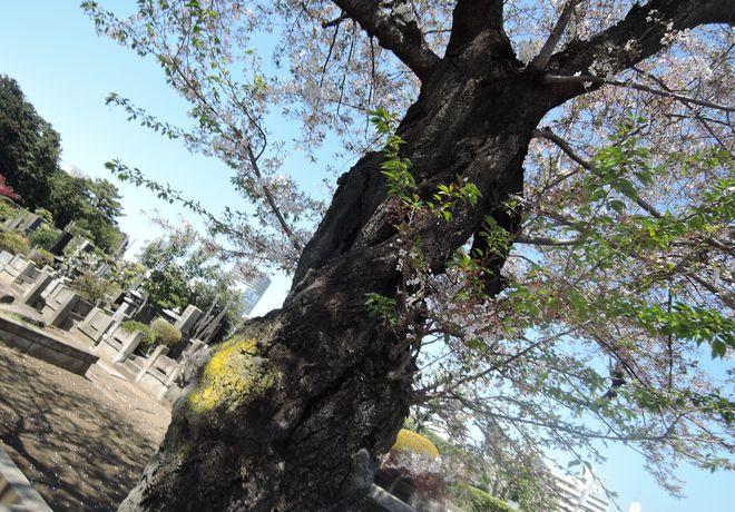 桜の老木(1)寛永寺第二霊園
