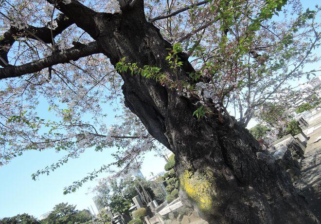 桜の老木(2)寛永寺第二霊園