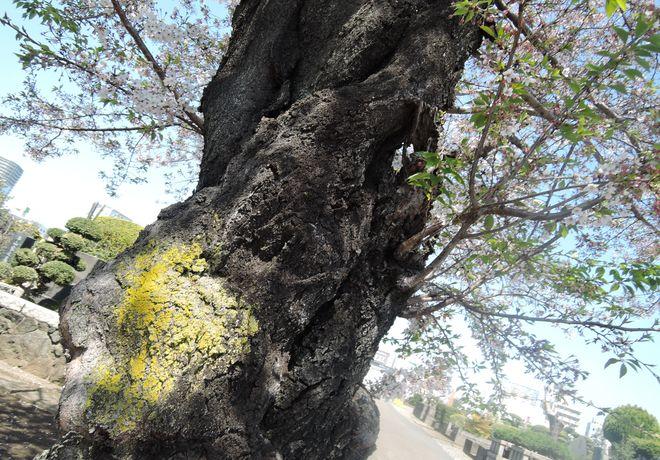 桜の老木(3)寛永寺第二霊園