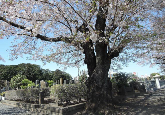 桜の老木(4)寛永寺第二霊園