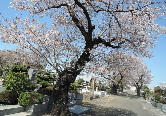 桜の老木(5)寛永寺第二霊園