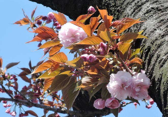 里桜|寛永寺第二霊園