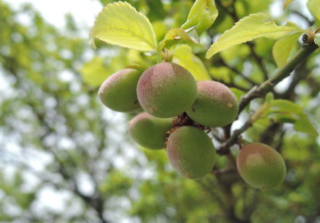 梅の実(1)