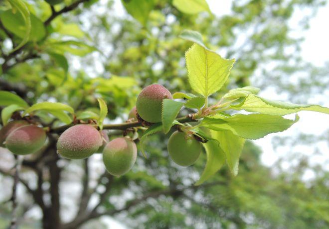 梅の実(2)