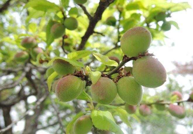 梅の実(3)