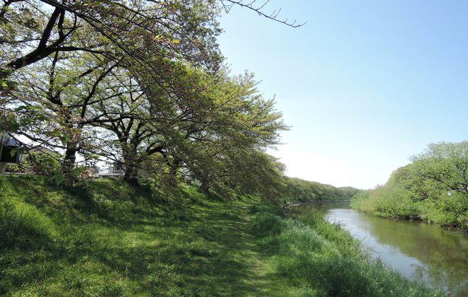 葉桜になった河川敷の桜並木
