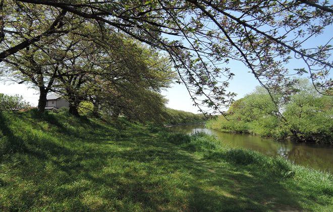 河川敷の桜並木|葉桜