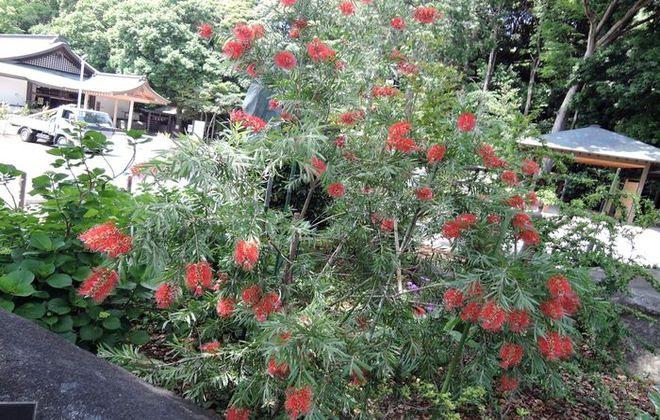 ブラシの木-4