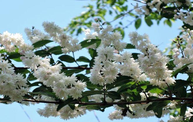 サラサウツギの花-1