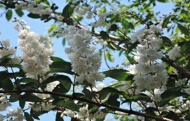 サラサウツギの花-2