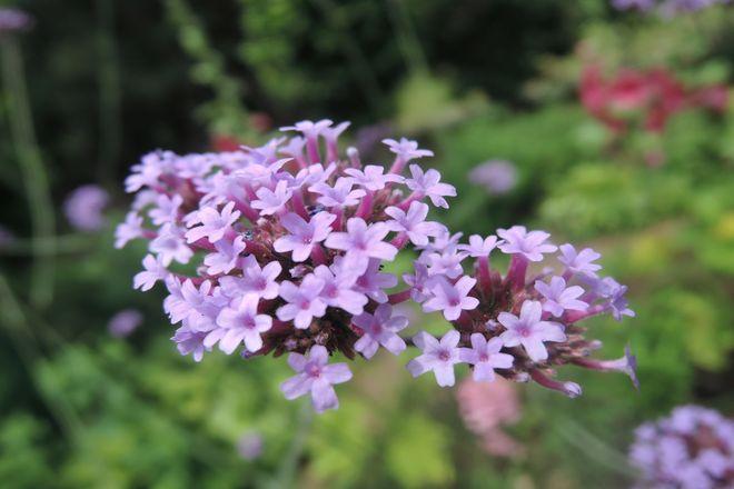 美女桜の花