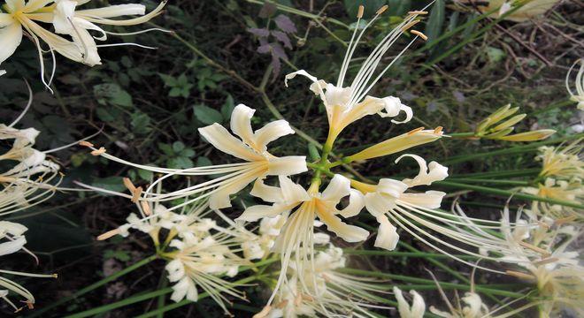 白い彼岸花の花言葉