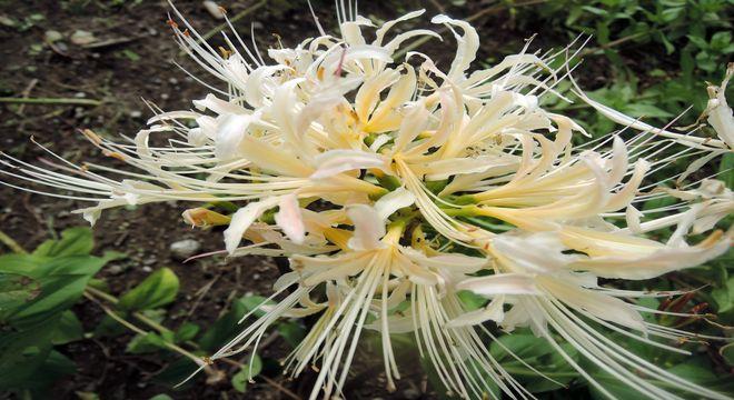 白い彼岸花(画像)