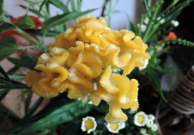 黄色い葉鶏頭