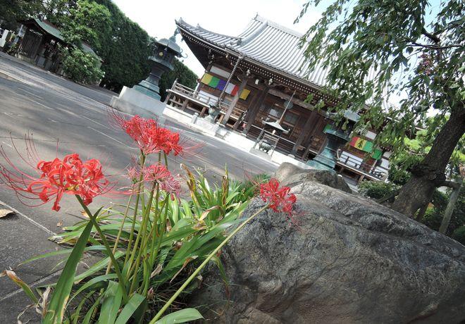 寺の境内に咲く彼岸花